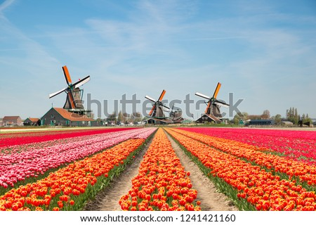 Landscape of Netherlands bouquet of tulips and windmills in the Netherlands. Spring season travel or nature landscape sightseeing in Europe concept.