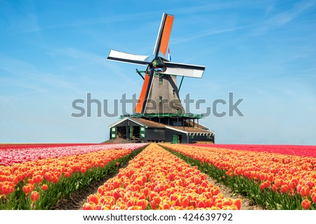 Landscape of Netherlands bouquet of tulips. colorful tulips. tulips in spring and windmills in the Netherlands.