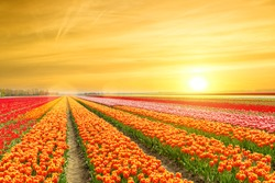 Landscape of Netherlands tulips with sunlight in Netherlands