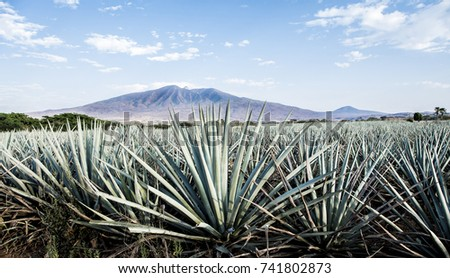 Landscape of planting of agave plants to produce tequila