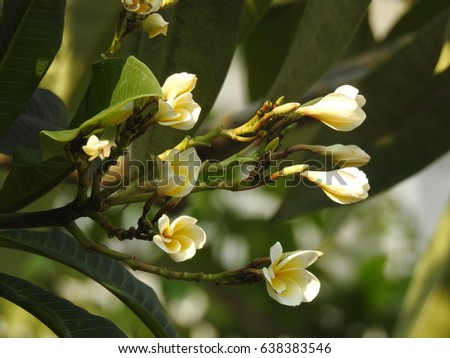 Landscape of plumeria flowers white petals and yellow color at the landscape of plumeria flowers white petals and yellow color at the center of the flowers mightylinksfo