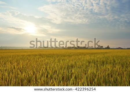 Landscape of rice field #422396254