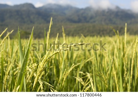 Landscape of rice field in chiang mai, Thailand