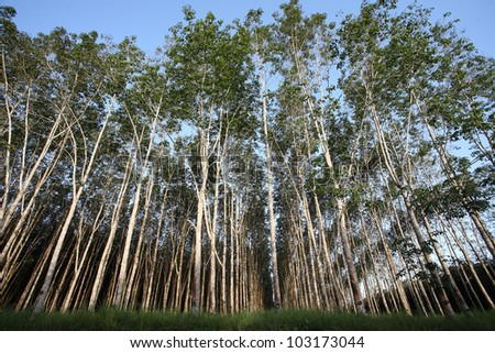 landscape of rubber trees