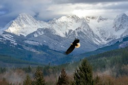 Landscape of snow capped mountains in the North Cascade mountain range in WA State, with a majestic Bald Eagle soaring in the foreground over soft mist in the among the evergreen trees at the foothill