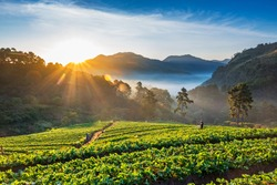 Landscape of Strawberry garden with sunrise at Doi Ang Khang , Chiang Mai, Thailand.