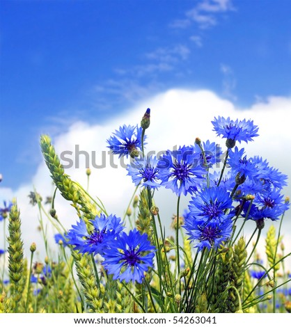 landscape of summer field from blue cornflower and blue sky