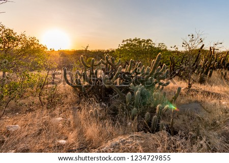 Landscape of the Caatinga in Brazil. Cactus at sunset #1234729855