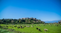 Landscape of the Corsica countryside with sheep in a meadow against the backdrop of snowy peaks. Corsica, France.
