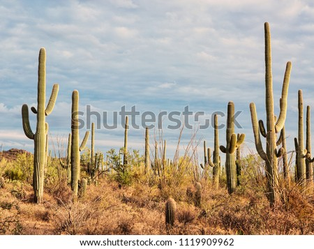 Landscape of the desert with Saguaro cacti.  Toned image