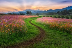 Landscape of the dirt road and beautiful cosmos flower field at sunset time.