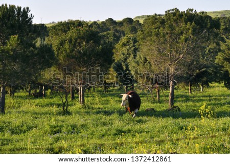 Landscape of the Hula Valley, Golan Heights,  Northern Israel. Landscape of the Hula Valley, Golan Heights,  Northern Israel. Grazing bull