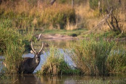 Landscape of the waterways with a waterbuck antelope in between the reeds in the river