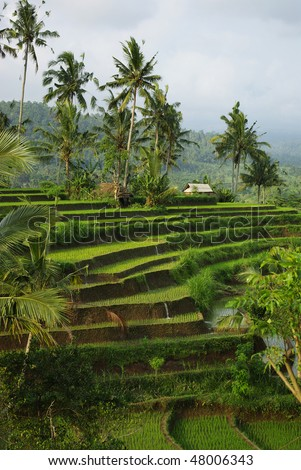 Landscape of young watered rice-field with some coconut palm and a little hut in Bali island