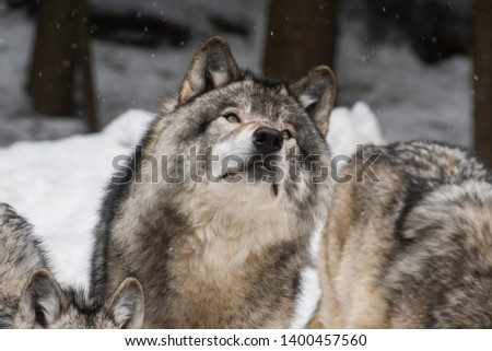 Landscape photo of a grey wolf pack in a snowy forest. Close up on one of the wolves looking up the top right corner of the picture. Shot in Montebello, Quebec, Canada.