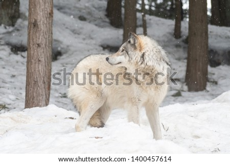 Landscape photo of a grey wolf standing in the snow in a forest, looking on the left side of the picture. Shot in Montebello, Quebec, Canada.