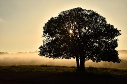 landscape photo of a silhouette big tree in sunrise, big tree and mist in sunrise