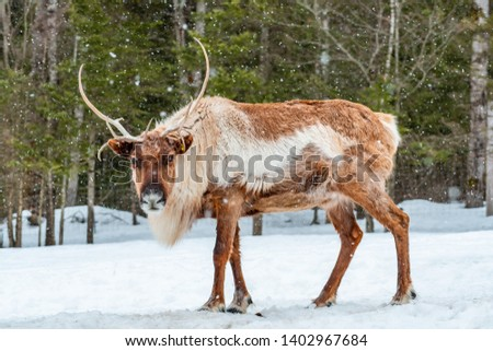 Landscape photo of an elk looking into the camera, walking on the snow with a forest in the background. Shot in Montebello, Quebec, Canada.
