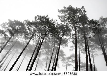 Landscape photo of mature hillside pine trees shrouded in mist