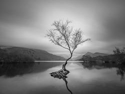 Landscape Photo of the lone tree at Llyn Padarn. Llanberis