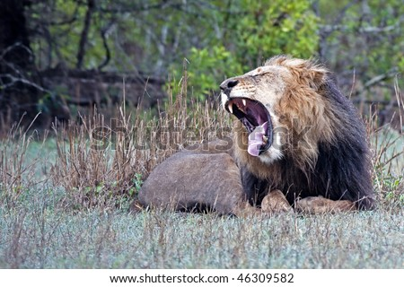 Landscape photograph of an old male lion yawning after a good nap. See my portfolio for more animals in Africa.