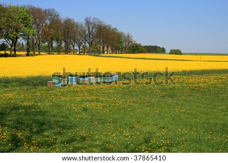 landscape, rapeseed field, canola of Poland colorful traditional beehives.
