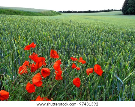 Landscape. Red poppies on summer meadow and the blue sky. Close-up. A field of wheat.