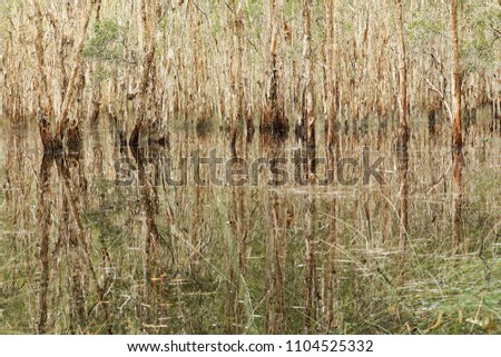 landscape stand of paper bark trees in a wetland lake in flood. Bark and reeds reflecting in complex patterns and textures. Abstract pattern of reflections refelcted highly textured trees in water.  #1104525332