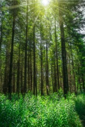 Landscape sun with beams shines magical through high conifers on forest glade