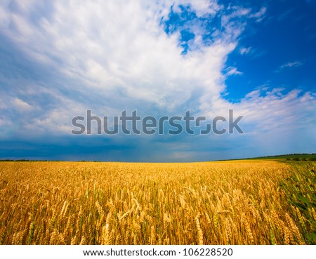 landscape. Ukrainian wheat field on the background of texture sky