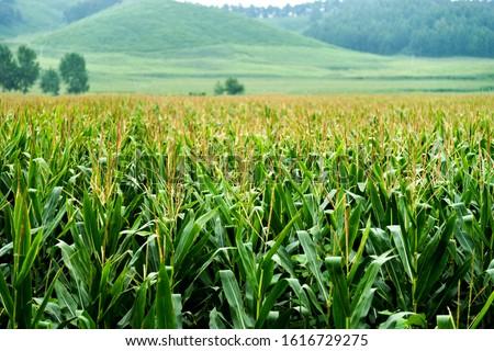 Landscape view of a corn field. Сток-фото ©