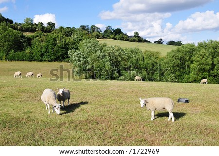 Landscape View of a Flock Sheep Grazing in a Green Field in Rural England