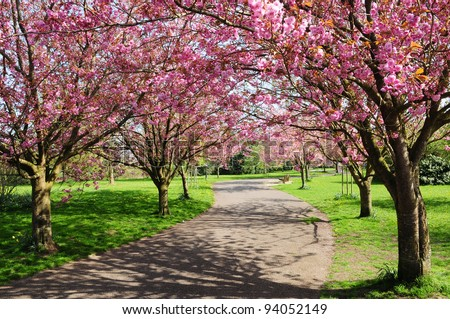 Landscape View of a Winding Garden Path Lined with Beautiful CherryTrees in Blossom