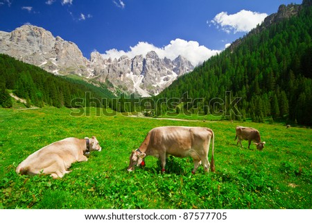 Landscape view of cows eating in a mountain field on Alps  Italy