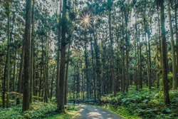 Landscape View Of The Beautiful Hiking Trails With Red Cypress At Xitou Forest Recreation Area (Nature Education Area), Nantou, Taiwan