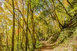 Landscape View Of The Golden and Colorful Autumn Maple Forest on Xiakelo(or Shihlu) Historic Trail, Jianshi, Hsinchu, Taiwan