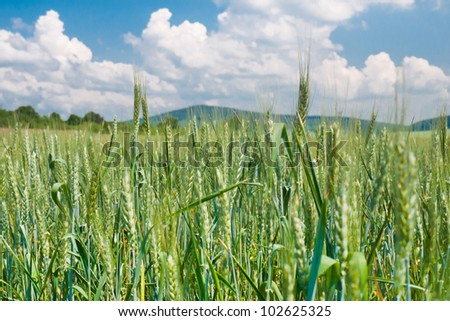 Landscape view with a field of green barley and blue sky with white clouds
