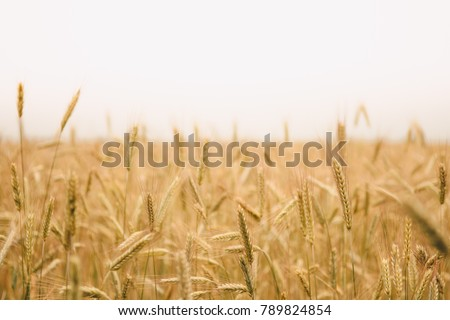 landscape warm colored wheat crops on sunny day on rural farmland #789824854