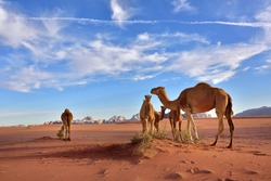 Landscape with a camels family in Wadi Rum desert at sunset, Jordan