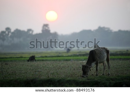 Landscape with a cow that graze grass at sunset in Sundarbans, West Bengal, India