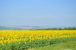 Landscape with a field full of sunflower. Beautiful cloudless sky. Tranquil summer view. Meditative photo.