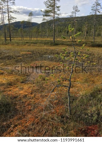 landscape with a swamp in the tundra beyond the Arctic Circle ( Puha - Luosto national park, Finland) with pine tree in the foreground and hills in the background Stock fotó ©