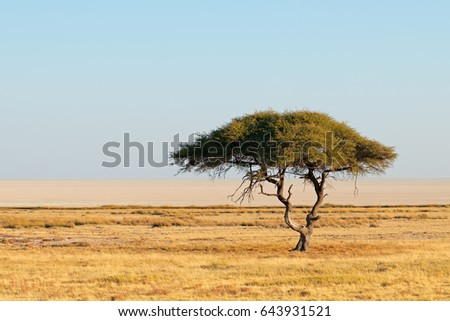 Landscape with a thorn tree and grassland, Etosha National Park, Namibia