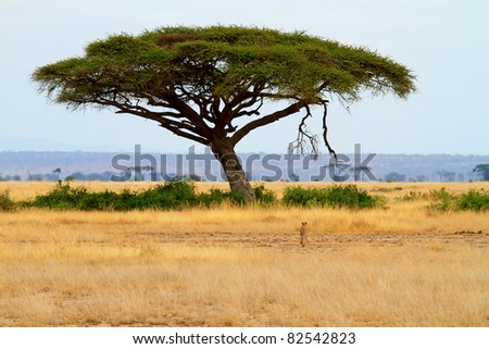 landscape with Acacia tree and cheetah in Africa