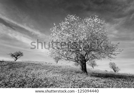 landscape with almond trees in black and white