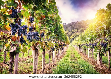 Landscape with autumn vineyards and organic grape on vine branches