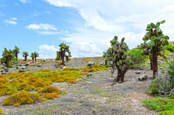 Landscape with cactus trees (Opuntia echios) and sesuvius plants on South Plaza Island (Spanish: Isla Plaza Sur).