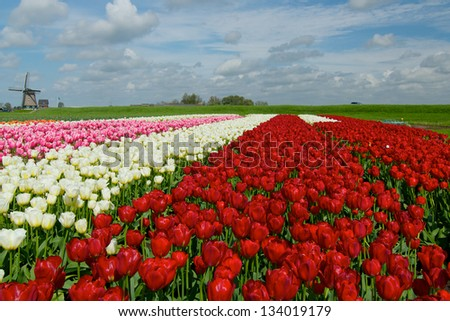 Landscape with colorful field of tulips and windmill in Holland