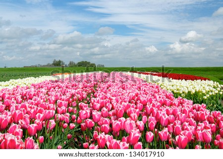 Landscape with colorful field of tulips. Holland