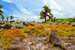 Landscape with  Conolophus pallidus (the Barrington land iguana) and sesuvius plants, cactus trees on South Plaza Island (Spanish: Isla Plaza Sur).